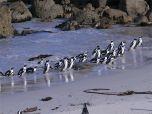 Африканские пингвины - живые достопримечательности ЮАР - фото (фотографии)
